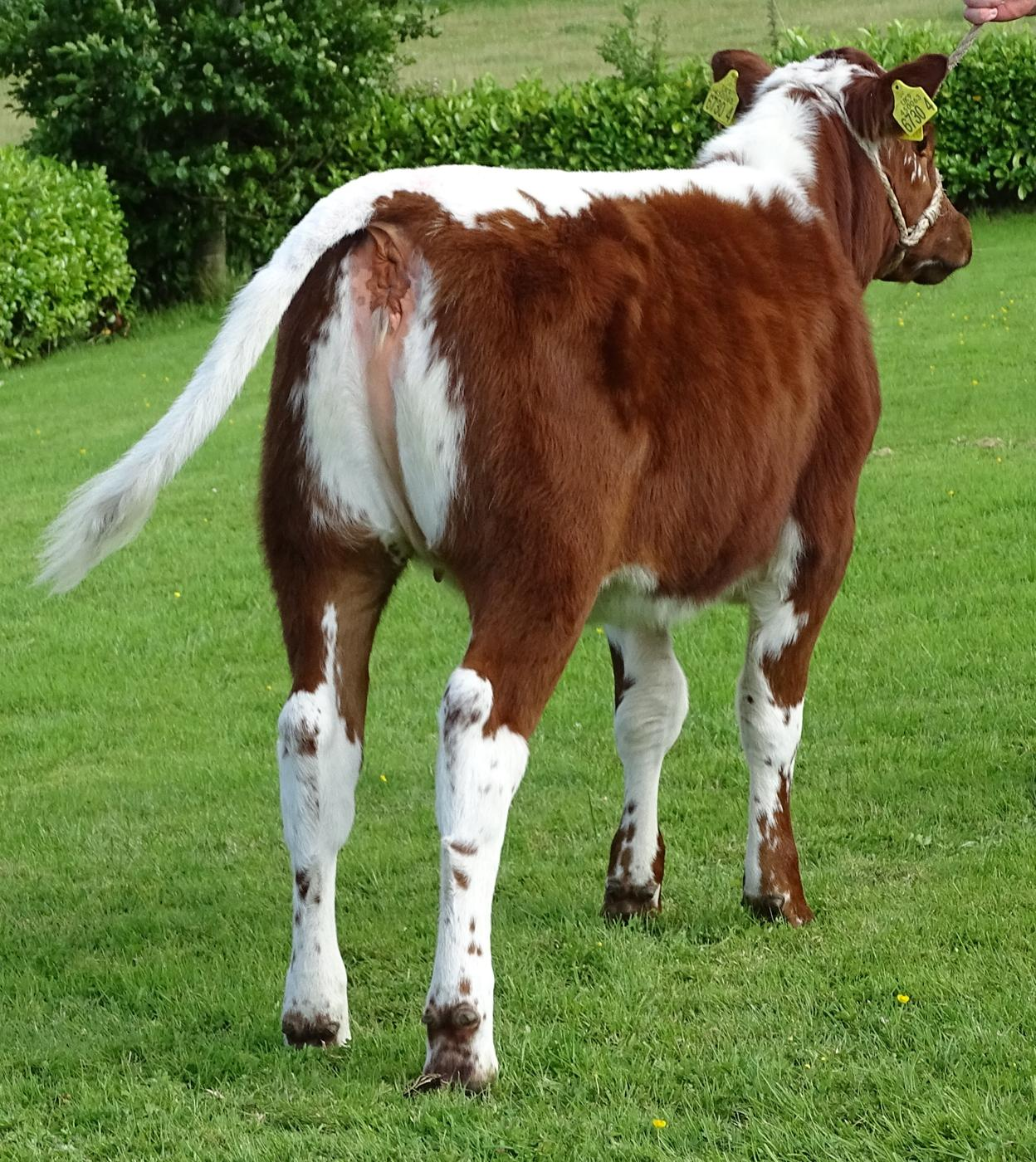Lily calf back - Copy.JPG