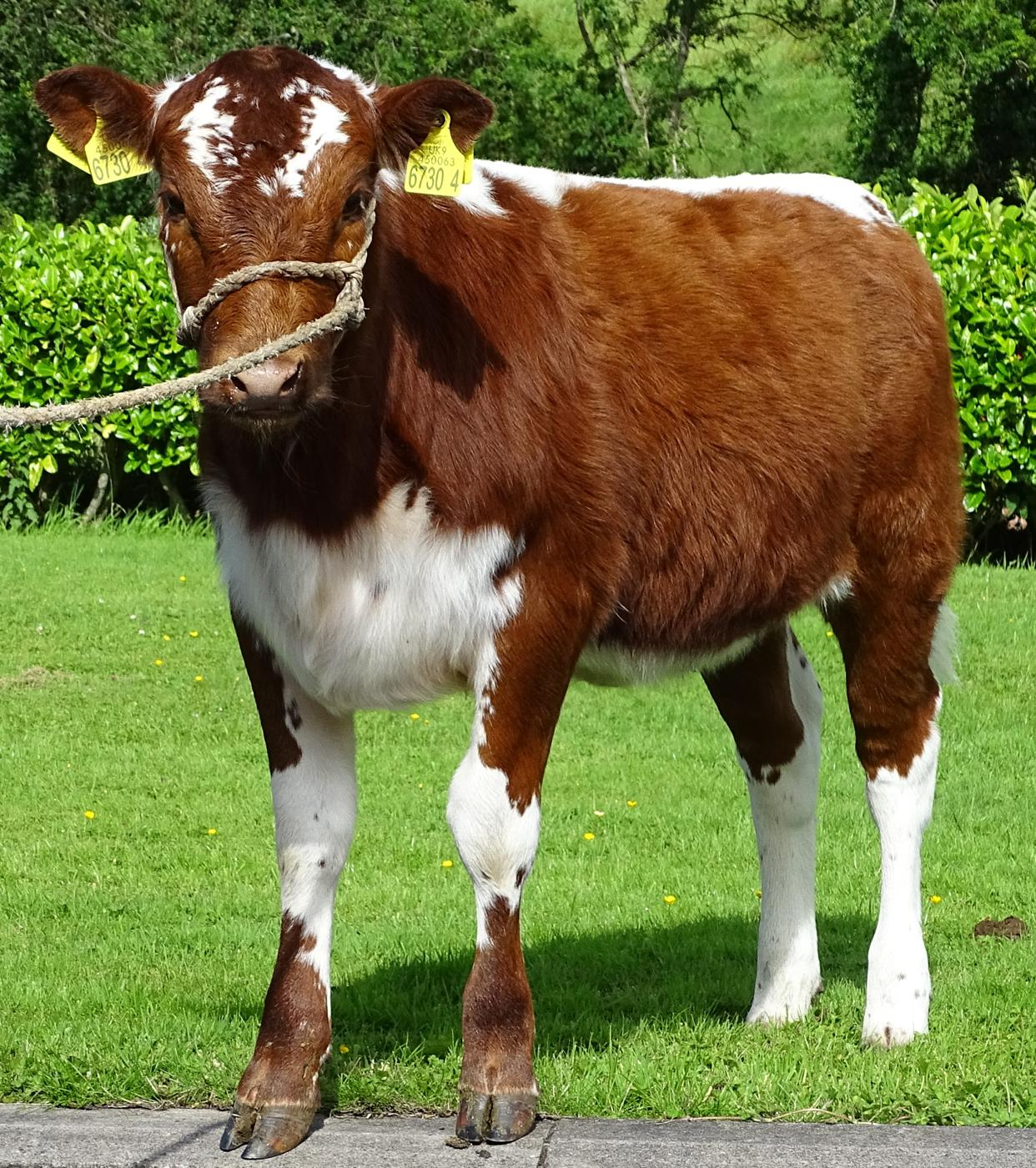 lily calf front (2).JPG