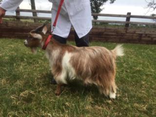 goat-3-01.JPG