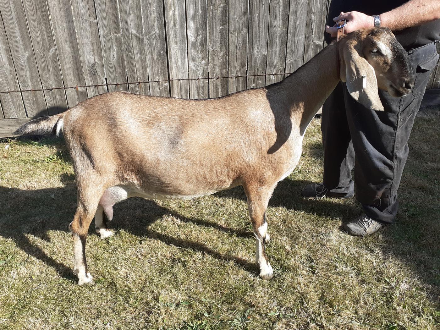 Goat Class 1 Female