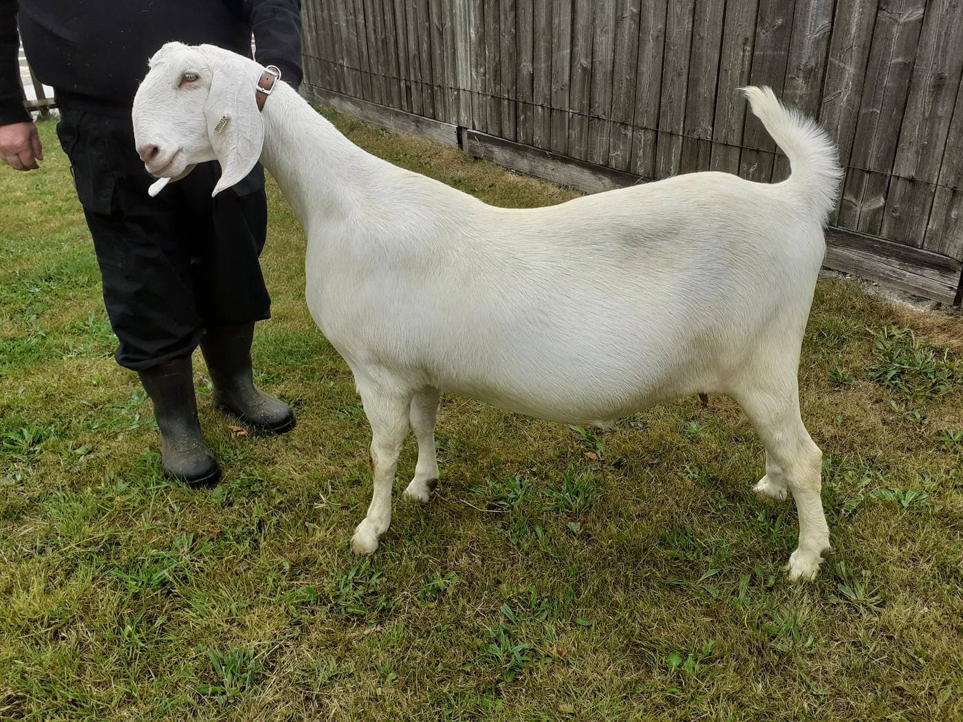 Goat Class 1 Female Goatling