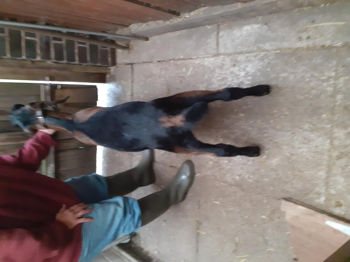 Goat Class 2 Male Kid