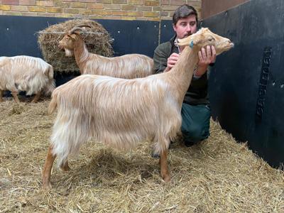 show_1073/thumbnail-Goat_side_IKkdaHR.jpg